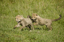 Cubs palying by Danita Delimont