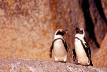 Jackass Penguins (Phalacrocorax capensis) on the rocks von Danita Delimont