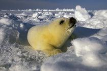 Harp Seal (phoca groenlandica) pup von Danita Delimont