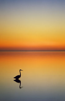 Great Blue Heron at sunset von Danita Delimont