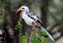 Red-billed Hornbill (Tockus erythrorhynchus) by Danita Delimont