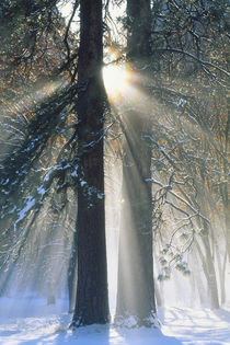 Sun rays streaming through snow covered trees by Danita Delimont