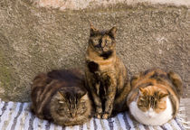 Three cats beside building wall by Danita Delimont