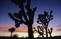 (Yucca brevifolia) by Danita Delimont