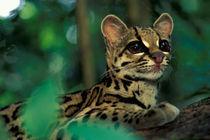Margay (Leopardus weidi) portrait by Danita Delimont