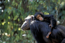 Female chimp with infant riding on her back von Danita Delimont