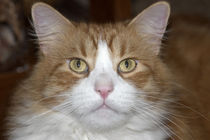 Jack domestic orange and white maine coon cat von Danita Delimont