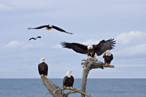 Six Bald Eagles (Haliaeetus leucocephalus) by Danita Delimont