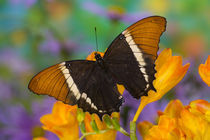 Washington Tropical Butterfly Photograph of Siproeta epaphus the Black and Tan Page Butterfly by Danita Delimont