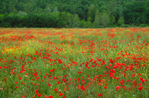 Red poppies in field by Danita Delimont