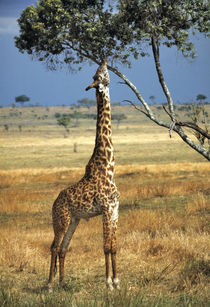 Giraffe browses on tree leaves in Amboseli National Park in Kenya by Danita Delimont