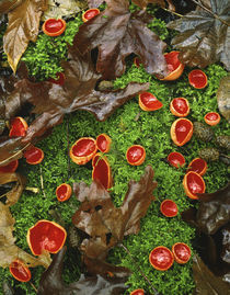 Scarlet cup fungi on bed of moss on forest floor by Danita Delimont