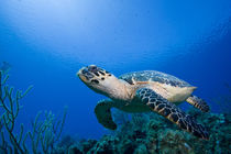 Underwater view of Hawksbill Turtle (Eretmochelys imbricata) swimming above coral reef near Bloody Bay Wall von Danita Delimont