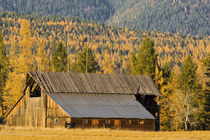 Old wooden barn with autumn tamaracks near Whitefish Montana by Danita Delimont