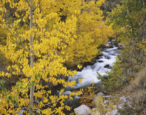 Bishop Creek and aspen trees in autumn von Danita Delimont