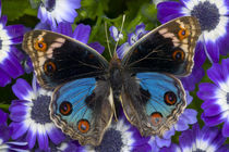 Junonia orithya the Blue Pansy Butterfly by Danita Delimont