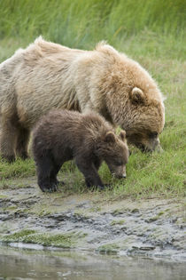 A mother grizzly bear and her cub graze in the estuary grasses by Danita Delimont