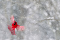 A male cardinal with wings spread in flight against a snowy background by Danita Delimont