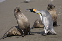 King Penguins (Aptenodytes patagonicus) and Antarctic Fur Seals (Arctocephalus gazella) on beach near massive rookery along Saint Andrews Bay by Danita Delimont