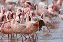 Flamingos wade in shallow water of Lake Nakuru to feed on algae von Danita Delimont