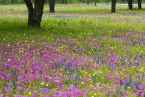 Blue Bonnets springtime near Devine Texas by Danita Delimont