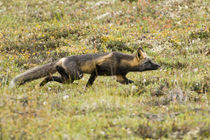 Red Fox stalks its prey at Denali NP von Danita Delimont