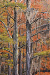Cypress trees in the fall by Danita Delimont