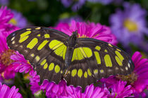 Washington Tropical Butterfly Photograph of Siproeta stelenes the malachite Butterfly by Danita Delimont
