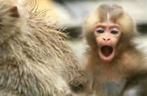 Snow Monkey Baby by Danita Delimont