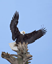 Bald Eagle (Haliaeetus leucocephalus) with wings stretched overhead by Danita Delimont