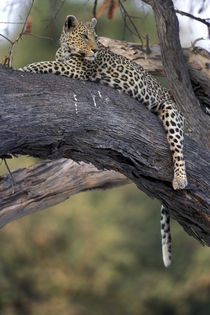 Adult Female Leopard (Panthera pardus) rests on tree limb near Khwai River von Danita Delimont
