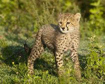 Cheetah cub at Ndutu in the Ngorongoro Conservation Area by Danita Delimont