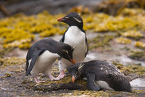 Rockhopper penguins communicate with each other at their colony on New Island in the Falkland Islands von Danita Delimont