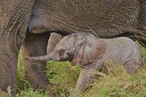 Baby elephant von Danita Delimont