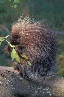 Captive porcupine von Danita Delimont