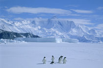 Several adelie penguins on sea ice by Danita Delimont