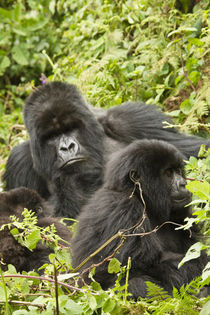 Mountain Gorillas (Gorilla beringei beringei) family group in nest area by Danita Delimont