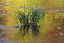 Tuft of grass in Deerfield River reflecting autumn colors by Danita Delimont