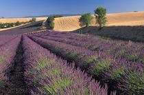 Lavender fields von Danita Delimont