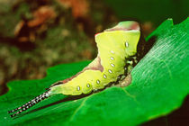 Caterpillar feeding on fresh leaf von Danita Delimont