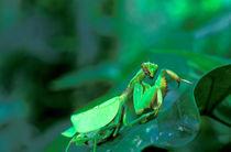 Family Mantidae von Danita Delimont