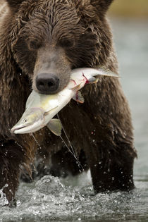 During fall salmon run with a salmon in its mouth by Danita Delimont