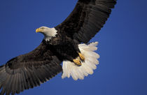 Kenai Peninsula Bald eagle in flight by Danita Delimont