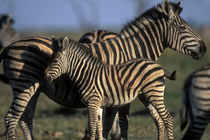 Plains Zebra (Equus burchelli) herd in tall grass at sunset in Savuti Marsh by Danita Delimont