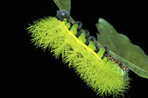 Green spiny catterpillar by Danita Delimont