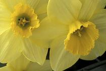 Cache Valley Daffodils von Danita Delimont