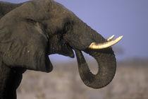Bull Elephant (Loxodonta africana) near Xakanaxa during dry season by Danita Delimont