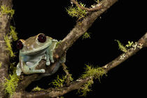 Maroon Eye Frog (Moon Frog); Leptopelis uluguruensis; Native to Tanzania; controlled situation by Danita Delimont