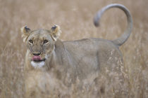 Adult Female Lioness (Panthera leo) in tall grass on savanna by Danita Delimont