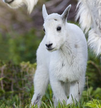 Mountain goat nanny with kid at Logan Pass in Glacier National Park in Montana by Danita Delimont
